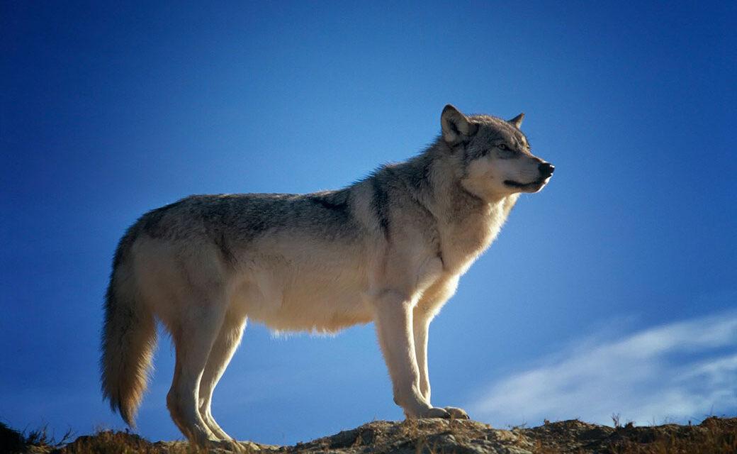 Recensione libro Il lupo della steppa