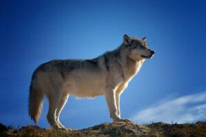 Il-lupo-della-steppa